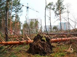 В Ветлужанке вырубают сосны ради строительства детского сада